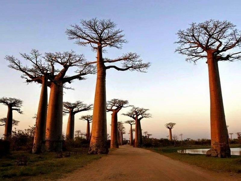 L'allée des Baobabs